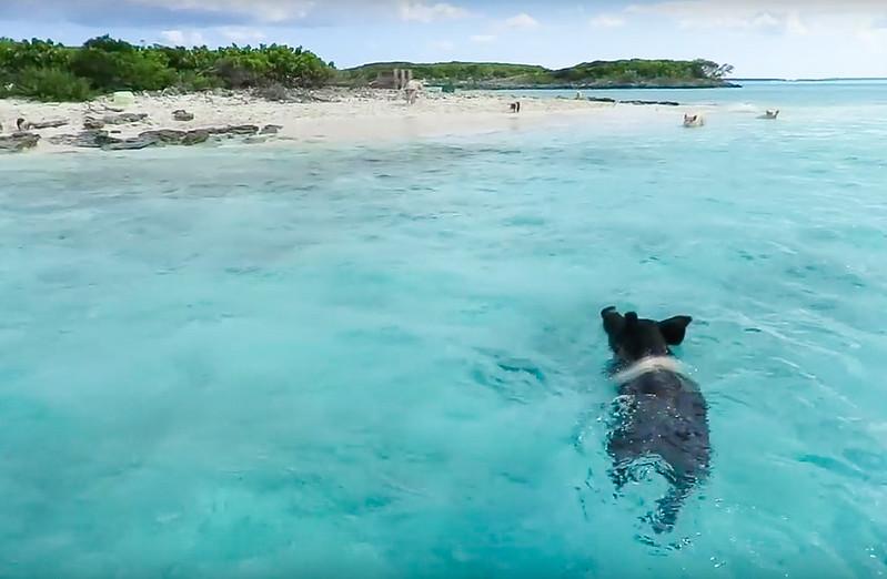 Cerditos nadadores Bahamas-10