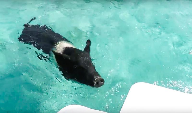Cerditos nadadores Bahamas-8