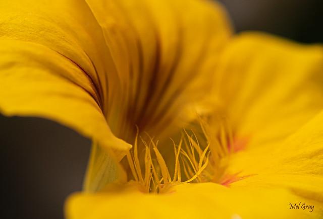 Yellow-nasturtium-heart_DSC6204
