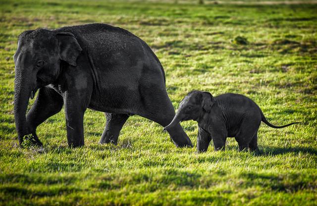 A Wild Elephant & Her Calf, Sri Lanka