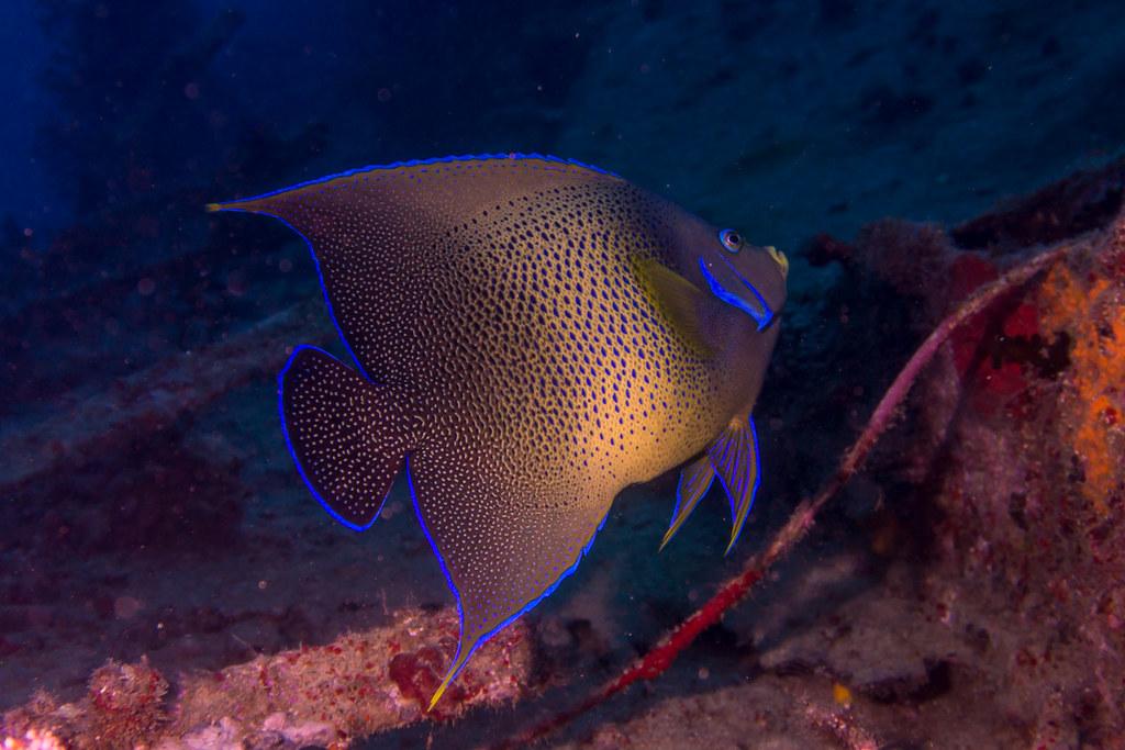 Semicircle Angelfish (Pomacanthus semicirculatus))