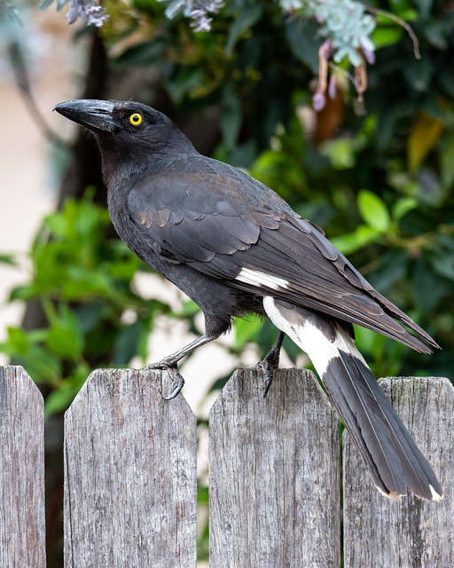 Pied Currawong on Fence