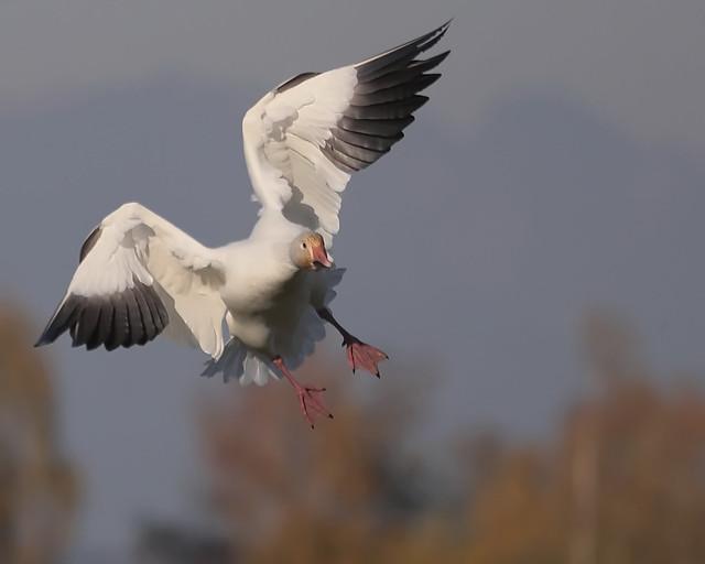 Snow Goose landing ©