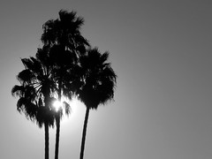 Sunburst Palms