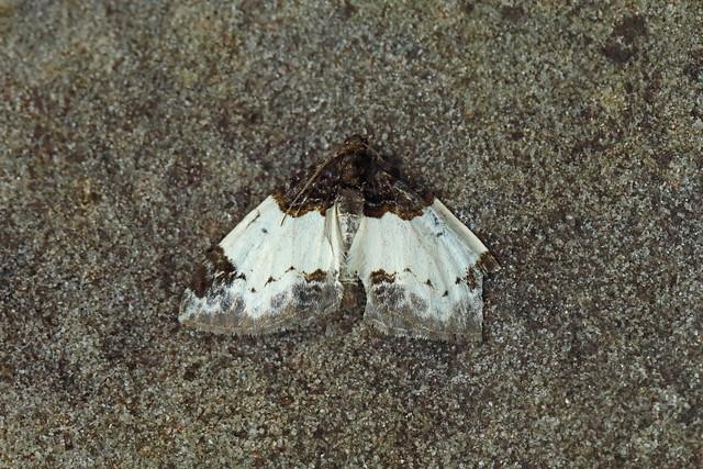 70.068 Beautiful Carpet (Mesoleuca albicillata), Burntisland, Fife