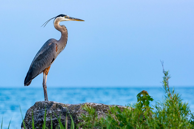 Local Great Blue Heron