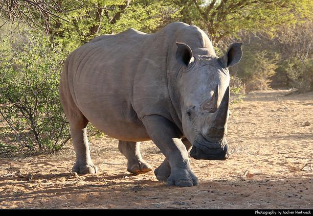 White rhinoceros, Waterberg Plateau NP, Namibia