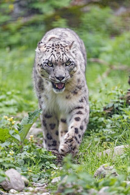 Snow leopard approaching