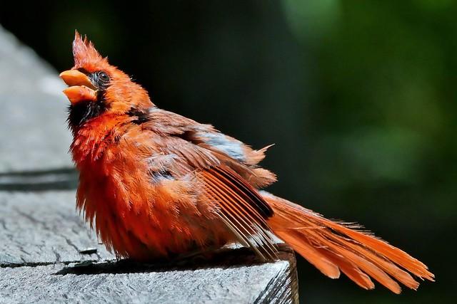 Male Cardinal (Cardinalis cardinalis)