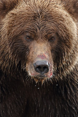 Huge Alaskan Brown Bear in Your Face — Join Me in Katmai National Park in September 2020!