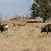 IMG_3877 mule deer