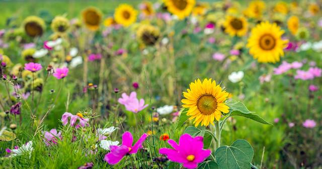Closeup of a sunflower in a multicolored field margin