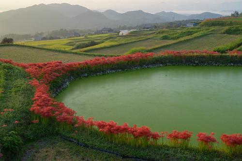 御所市 奈良県 japan 彼岸花 flower 日の出 sunrise
