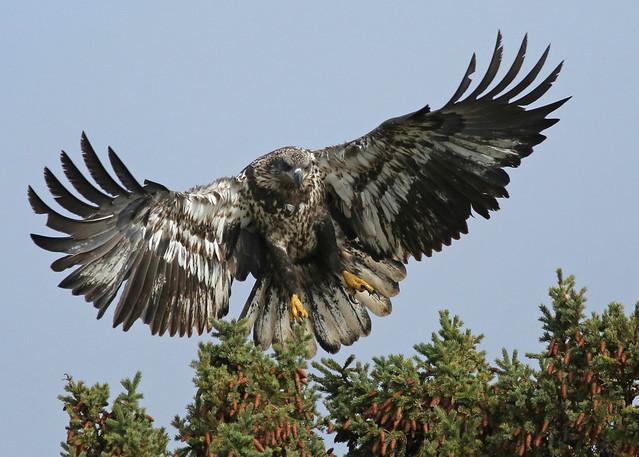 Bald Eagle...#21