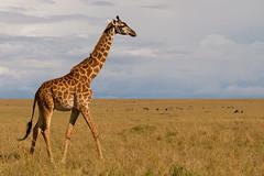 Wandering Giraffe