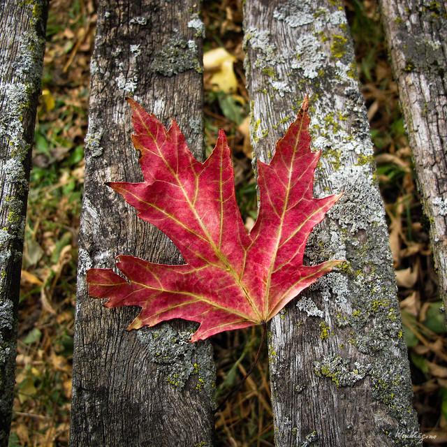 Maple Leaf on bench - Feuille d'érable sur un banc