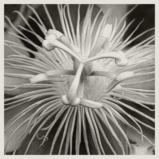 Passiflora IR #1 2019; Anthers & Stigma
