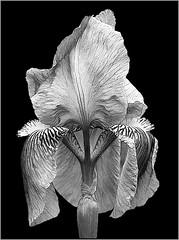 Iris by Bob Briggs Award & POM Monochrome Prints Oct. 2019