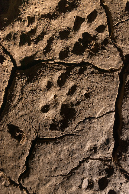 Panthera augusta tracks, Blue Spring Cave, White County, Tennessee 6
