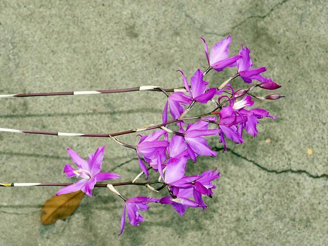 Laelia gouldiana species orchid