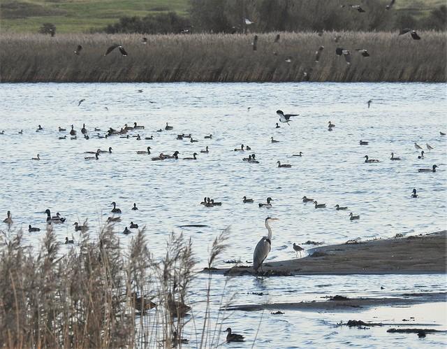 Wetland Bird Selection - Cresswell Ponds