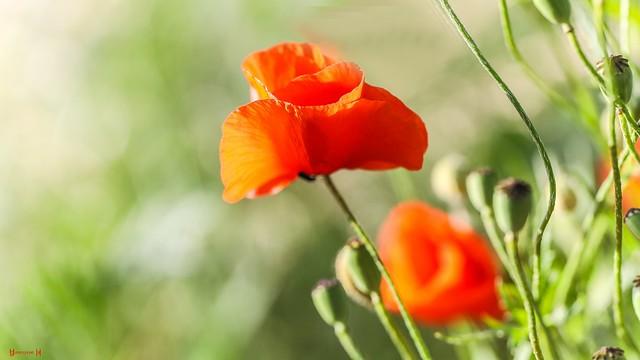 Poppy - 7661