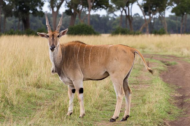 Sweet Kudu