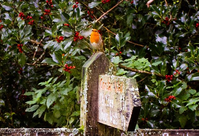 Exmoor Robin