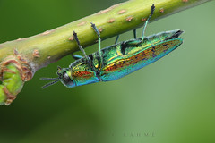 Colorful lime-borer