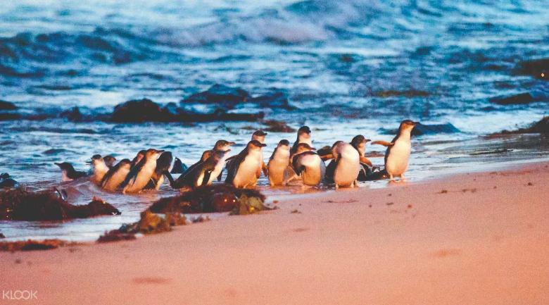 墨爾本飛利浦島神仙企鵝