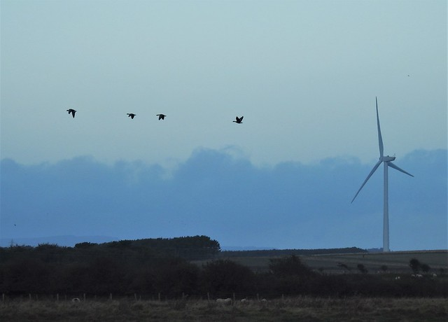 Pink Foot Geese -  Wind Turbine Fly Past