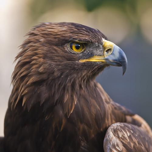 Nova, War Eagle VII
