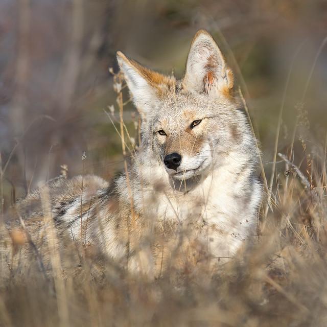 Coyote Lying in the Sun