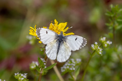 Green-veined White - Pieris napi - Nemours, France