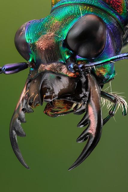 Cicindela chinensis - facial