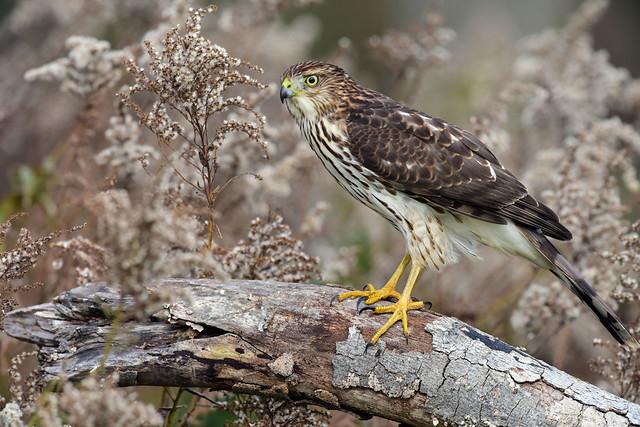 810_3666. Cooper's Hawk
