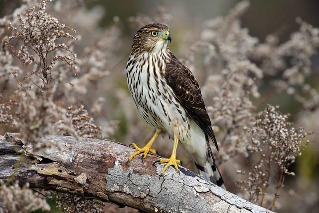810_3632. Cooper's Hawk