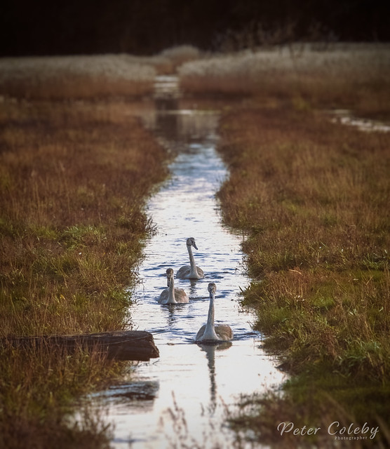 Swans in a Ditch