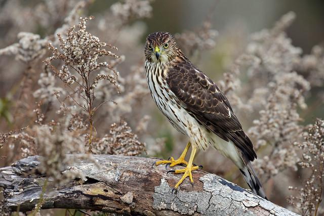 810_3668.Cooper's Hawk