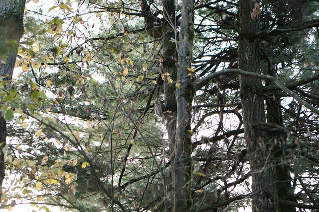 Barred Owl in Strathcona