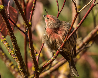 This little house finch was catch some rays, and fluffed up just for the  capture. So kind...