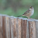 Flickr photo 'Golden-crowned Sparrow, Zonotrichia atricapilla (Gmelin, 1789)' by: Misenus1.