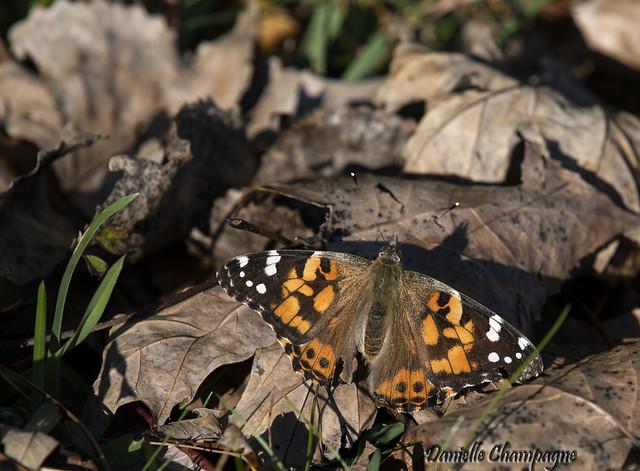 DBC_3174 papillon Belle Dame