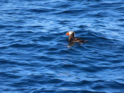 Tufted Puffin (Fratercula cirrhata) | by Crappy Wildlife Photography