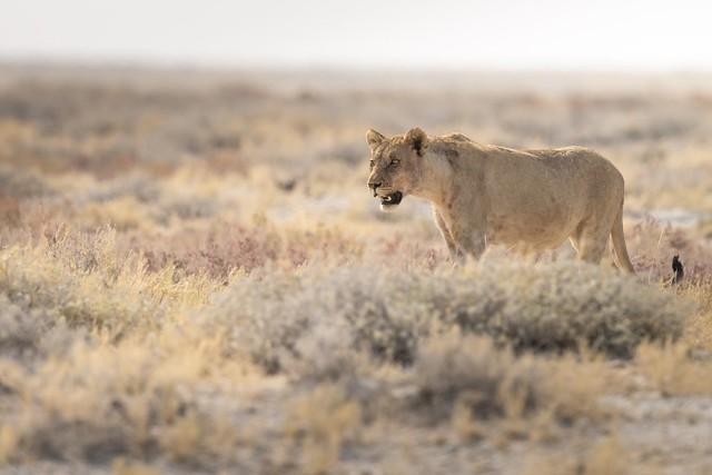 Springbok Stalker