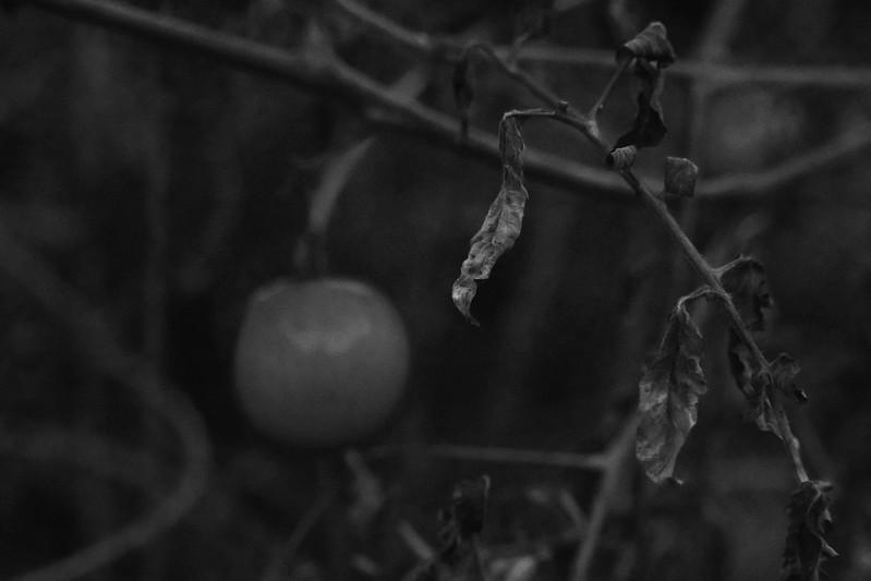 late autumn tomato, crumpling leaves, vines, dusk, Asheville, NC, Nikon D3300, Super Takumar 50mm f-1.4, 11.5.19
