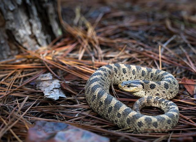 Southern Hognose Snake(Heterodon simus)