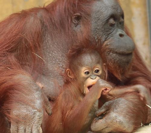 orangutan Minggu and Tjintha Ouwehand BB2A1294