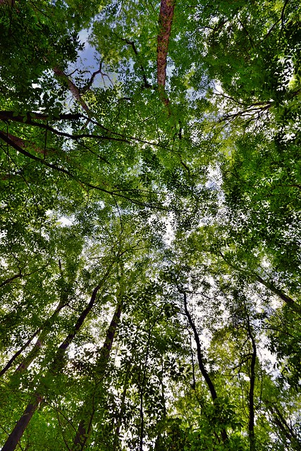 A Portrait Orientation to Looking Up to See the Wonder of Trees Around Me! (Congaree National Park)