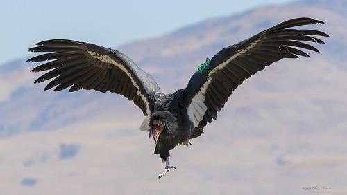 C0740 California Condor 0562